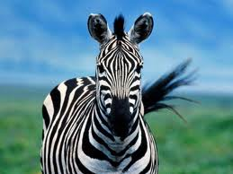 Big Quiet Zebra